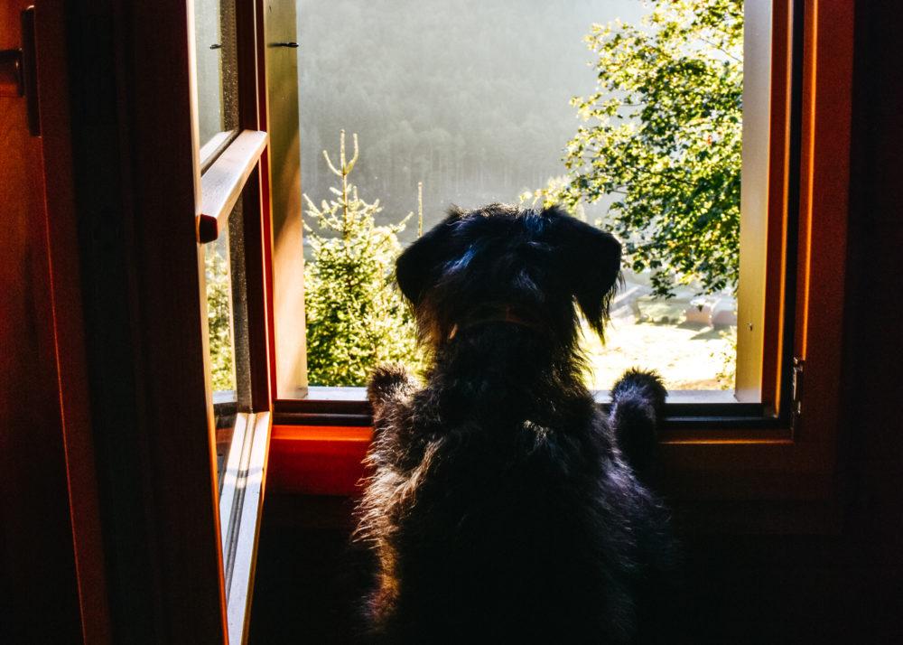 Hund blickt aus dem Fenster - Wanderurlaub mit Hund