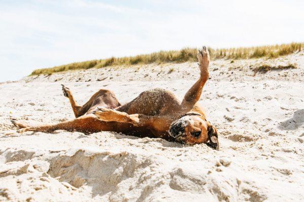 Hund im Sand - Nordsee mit Hund