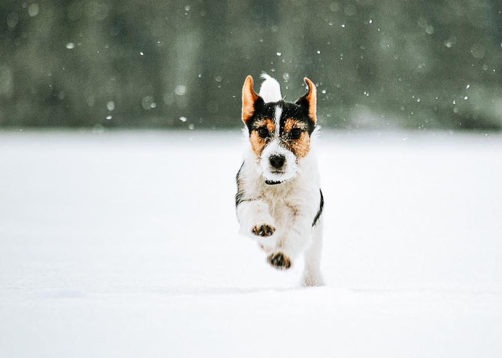 Hund im Schnee - Silvester mit Hund