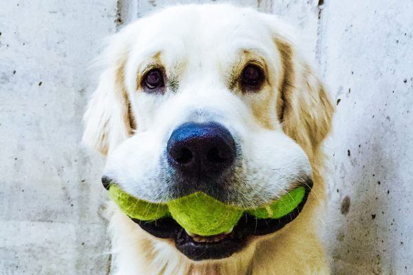 Hund mit Tennisbällen im Maul - Wanderurlaub mit Hund