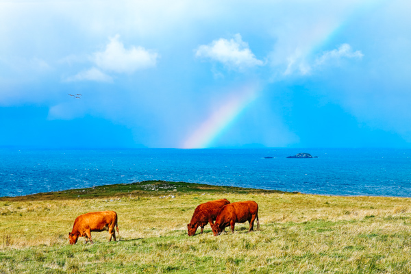 Rinder auf einer Weide in Schottland - Motorradreisen