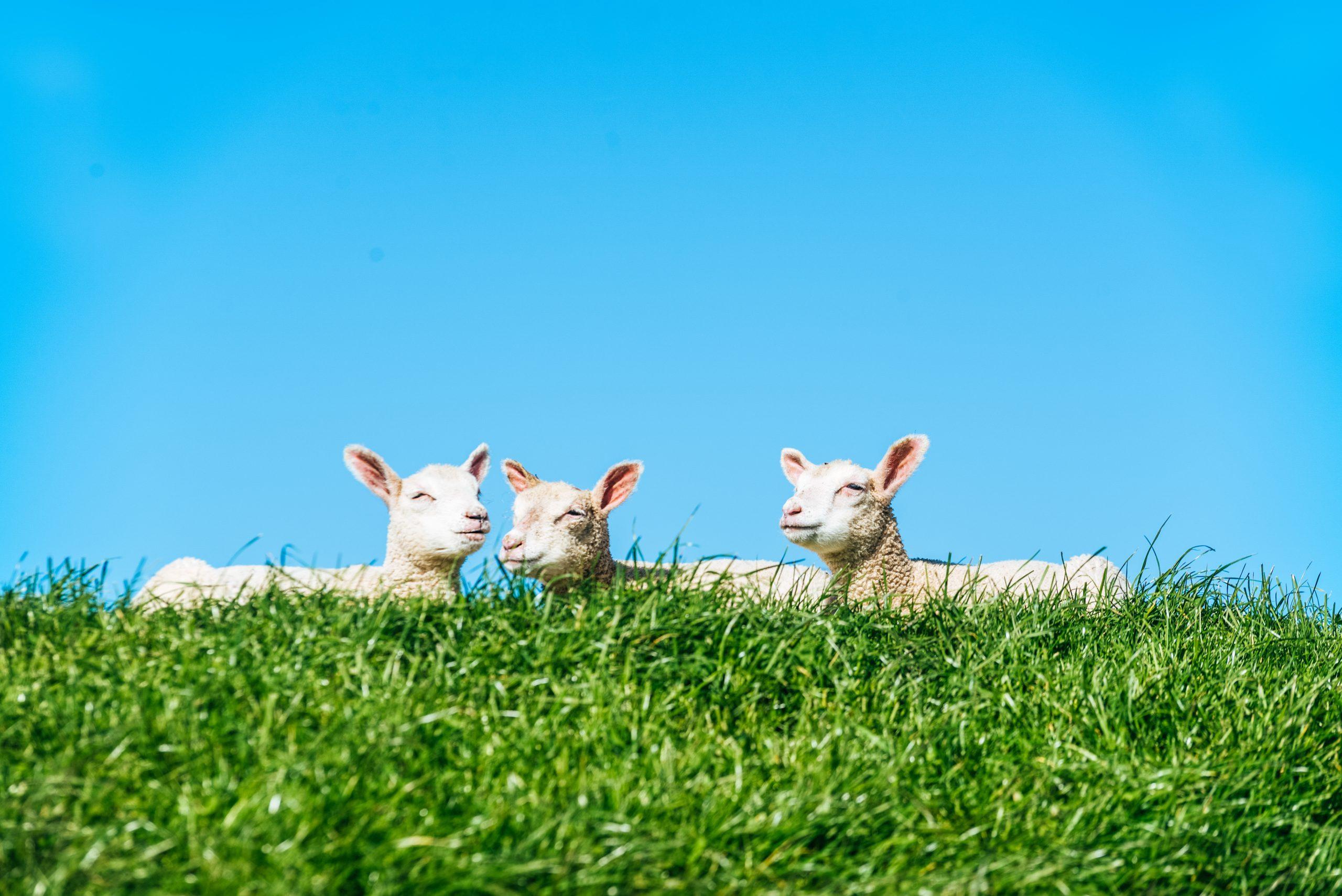Schafe in Schleswig-Holstein