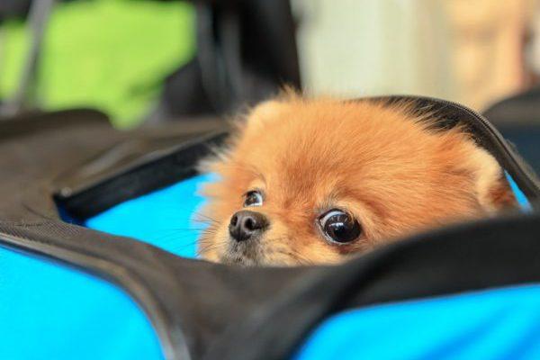 Welpe in der Reisetasche - Einreise mit Hund nach Frankreich