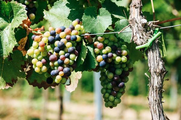 Helle und dunkle Weintrauben, Weinrebe