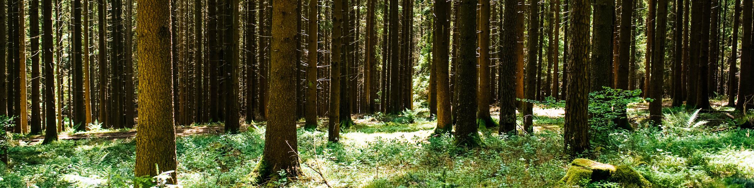 Fichten im Schwarzwald