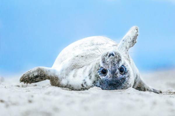 Robbe am Strand der Nordsee